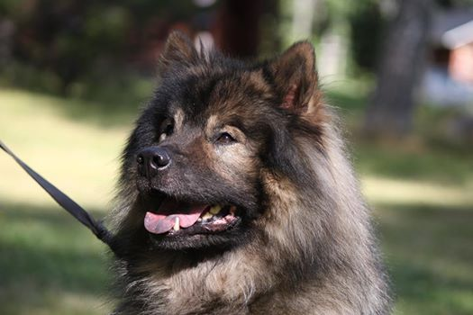 Harrastaja Eurasier 2014: Essente Giddy Gilbert