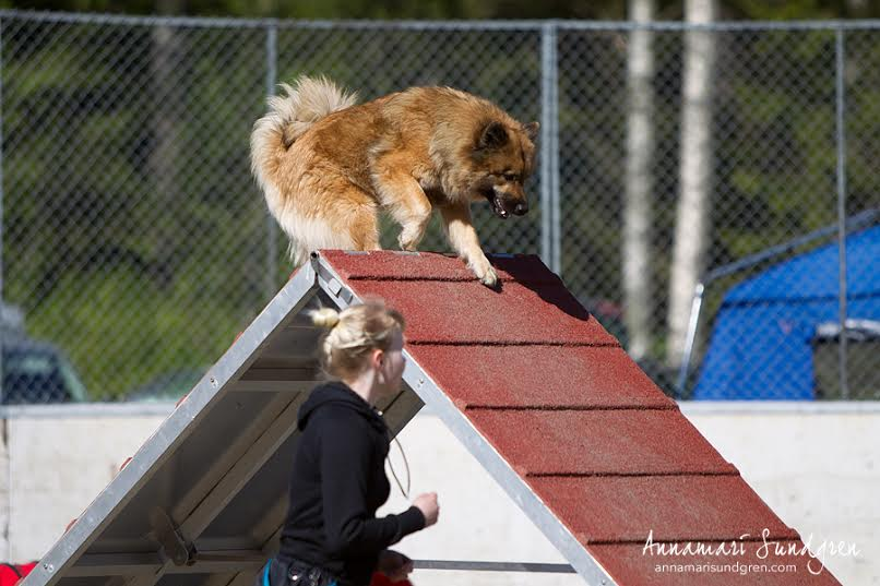 Harrastaja Eurasier 2015: Blueberry Kiss Barcelonnette